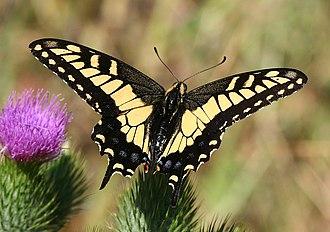 Papilio zelicaon - Image: Anise swallowtail