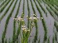 Annual Fleabane Flowers ヒメジョオン Along A Rice Paddy (215525059).jpeg