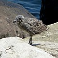 Another Baby Seagull (9532919425).jpg