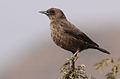 Ant-eating Chat (or Southern Anteater-chat), Myrmecocichla formicivora.jpg