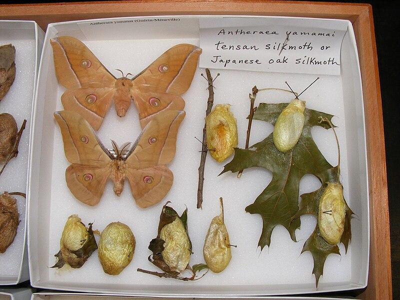 File:Antheraea yamamai variation sjh.JPG