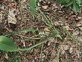 Anthericum ramosum Kiev5.jpg