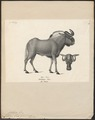 Antilope gnu - 1809-1845 - Print - Iconographia Zoologica - Special Collections University of Amsterdam - UBA01 IZ21400287.tif