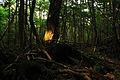 Aokigahara forest 01.jpg