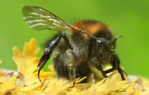 Description: Bumblebees (also spelled bumble b...