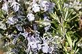 Apis mellifera - Rosmarinus officinalis-201903015.jpg