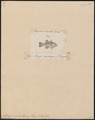 Apogon enneastigma - 1835 - Print - Iconographia Zoologica - Special Collections University of Amsterdam - UBA01 IZ13000042.tif