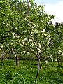 Apple orchard Moscow State University 06.JPG