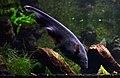 Apteronotus albifrons Aquarium tropical du Palais de la Porte Dorée 10 04 2016 1.jpg