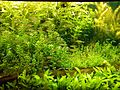 Aquarium fish in green aqua plants.jpg