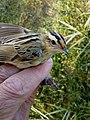 Aquatic Warbler, juvenile.jpg