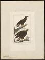 Aquila chrysaëtos - 1700-1880 - Print - Iconographia Zoologica - Special Collections University of Amsterdam - UBA01 IZ18100163.tif