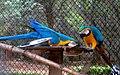 Ara glaucogularis macaw IGZoopark Visakhapatnam (3).JPG