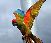 https://upload.wikimedia.org/wikipedia/commons/thumb/b/bf/Ara_rubrogenys_-Dou%C3%A9_la_Fontaine_zoo-flying-8a.jpg/180px-Ara_rubrogenys_-Dou%C3%A9_la_Fontaine_zoo-flying-8a.jpg