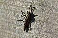 Araignées, insectes et fleurs de la forêt de Moulière (Les Agobis) (28986025376).jpg