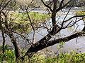 Arbol laguna Reserva Ecologica.jpg