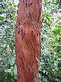 Arbutus canariensis kz4.JPG