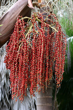 Archontophoenix cunninghamiana - Seeds of the Bangalow palm