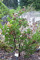 Arctostaphylos manzanita subsp. laevigata (Arctostaphylos laevigata) - Regional Parks Botanic Garden, Berkeley, CA - DSC04543.JPG