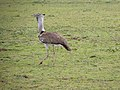 Ardeotis kori, Arusha NP, Tanzania (27473880952).jpg