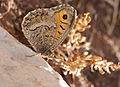 Arethusana arethusa - False Grayling butterfly.jpg