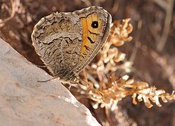 Arethusana arethusa - False Grayling butterfly.jpg
