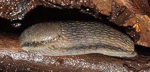 Gelbstreifige Wegschnecke (Arion fasciatus)