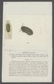 Armadillo pustulatus - - Print - Iconographia Zoologica - Special Collections University of Amsterdam - UBAINV0274 098 09 0006.tif