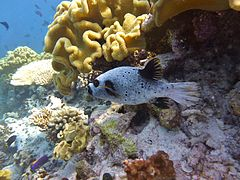 Blackspotted pufferfish Arothron nigropunctatus