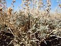 Artemisia pedatifida (5041510627).jpg