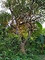 Artocarpus heterophyllus Bangladesh.jpg