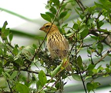 Asian Golden Weaver (Ploceus hypoxanthus) - female.jpg