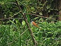 Asian Paradise-flycatcher.jpg