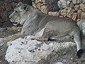 Asiatic Lioness 05.jpg
