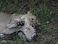 Asiatic Lioness 13.jpg