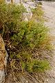Asparagus macrorrhizus0505 02.jpg