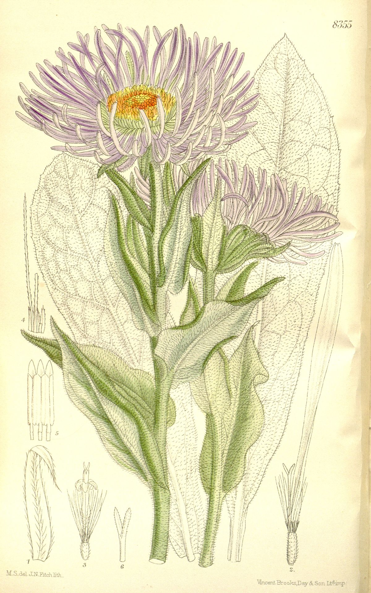 official photos 333a8 5975a Aster falconeri - Wikispecies