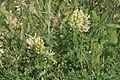 Astragalus cicer (Kicher-Tragant) IMG 7420.JPG