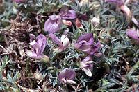 Astragaluskentrophyta