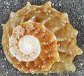 Astralium phoebium (long-spined star snail) (San Salvador Island, Bahamas) 3 (16005196439).jpg