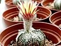 Astrophytum flower 04.jpg