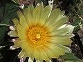 Astrophytum ornatum 23.jpg