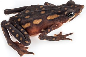 Description de l'image Atelopus longirostris female.jpg.