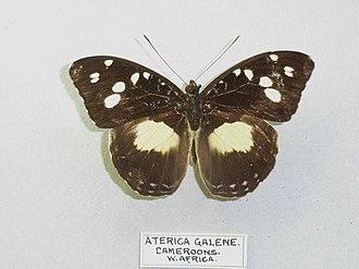 Limenitidinae - Aterica galene specimen (Adoliadini)