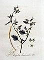 Atriplex laciniata — Flora Batava — Volume v4.jpg