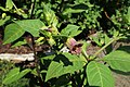 Atropa belladonna kz02.jpg