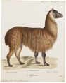 Auchenia pacos - 1700-1880 - Print - Iconographia Zoologica - Special Collections University of Amsterdam - UBA01 IZ21600097.tif