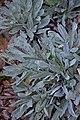 Aurinia saxatilis in Jardin botanique de la Charme.jpg