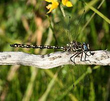 Bộ sưu tập Côn trùng 220px-Austroaeschna_flavomaculata_male_side