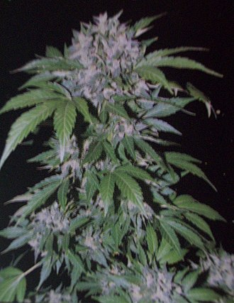 Cannabis cultivation - A flowering Cannabis plant